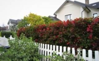Живой забор на даче что посадить?
